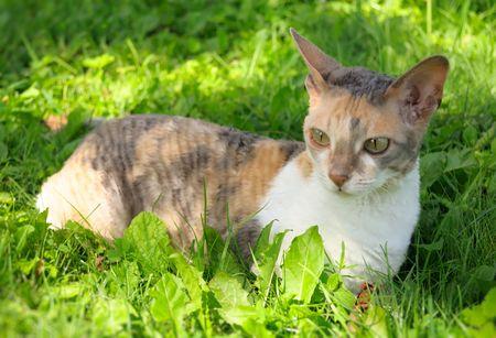 cornish rex: Cornish Rex Cat on Green Grass