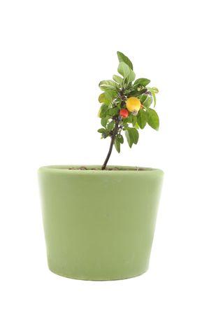 Decorative Pepper in Pot Stock Photo - 7785163