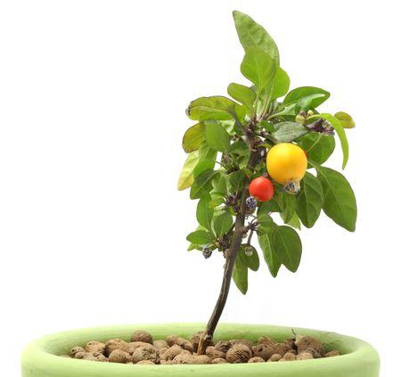 Decorative Pepper in Pot Stock Photo - 7887100