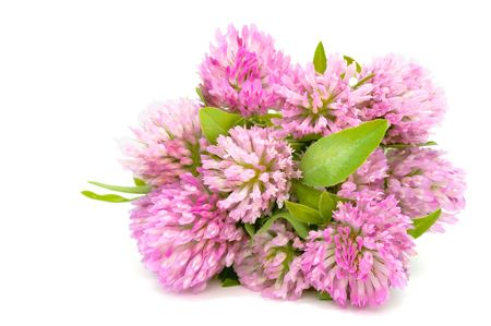 trifolium: Bouquet of Red Clover Isolated on White Background