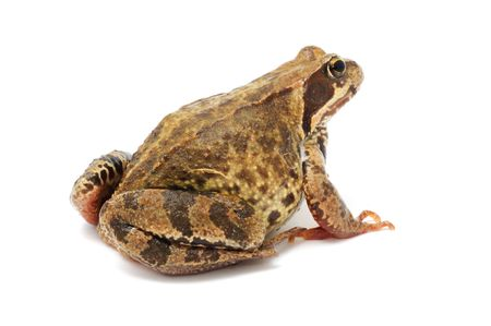 Toad Isolated on White Background photo