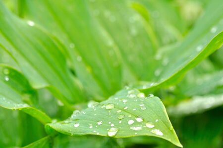 Dew Drops on Green Leaves Stock Photo - 8117549