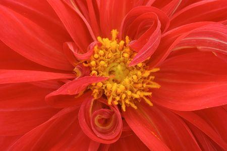 Red Dahlia Closeup photo