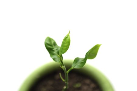 Little Green Plant in Pot on White Background Stock Photo - 8170562