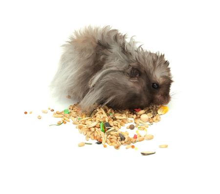 Fluffy Hamster Eating Grains Isolated on White Background photo