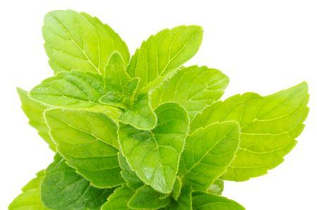 Fresh Mint on White Background Stock Photo - 8189694