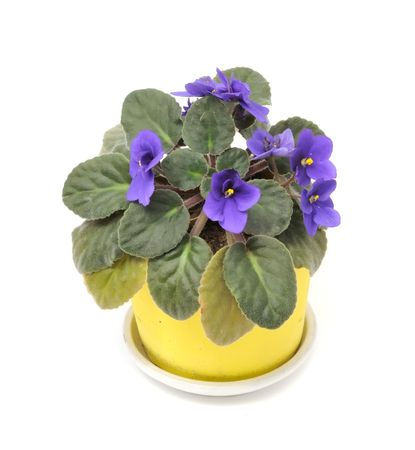 inddor: Beautiful Violet Flower in Pot Isolated on White Background Stock Photo