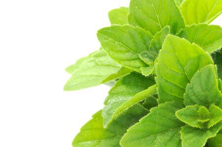 Fresh Mint on White Background Stock Photo - 8364520