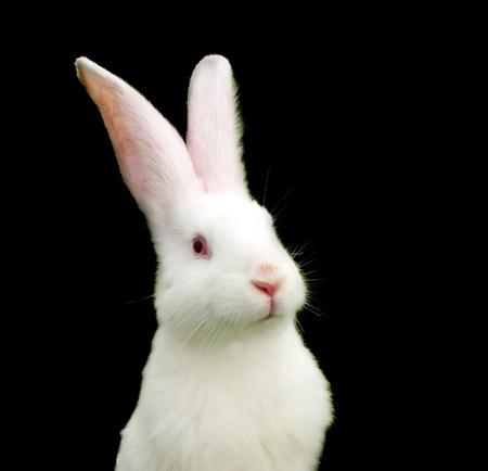 lapin blanc: Lapin blanc sur fond noir - symbole de 2011