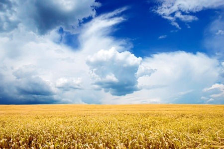 Yellow Field Under Bright Blue Sky Stock Photo