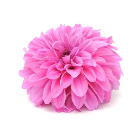 Beautiful Pink Dahlia Isolated on White Background Stock Photo