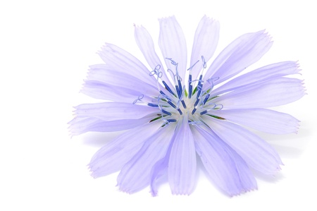florescence: Chicory Flower Isolated on White Background Stock Photo