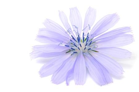 Chicory Flower Isolated on White Background Stock Photo - 8501056
