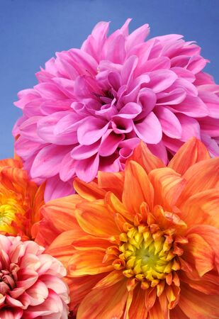 Beautiful Multicolored Dahlias on Blue Background photo