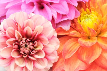 Beautiful Multicolored Dahlias Cloes-up photo