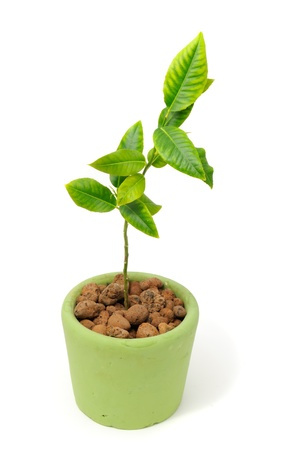 Little Lemon Tree in Pot Isolated on White Background Stock Photo - 9073233