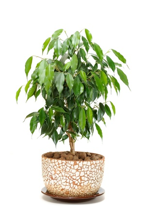 fig: Weeping Fig (Ficus Benjamina) in Pot Isolated on White Background Stock Photo