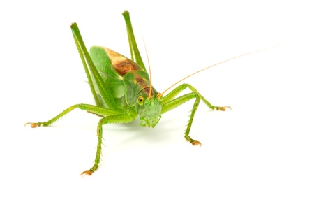 Grasshopper Close-up Isolated on White Background Stock Photo - 9133065