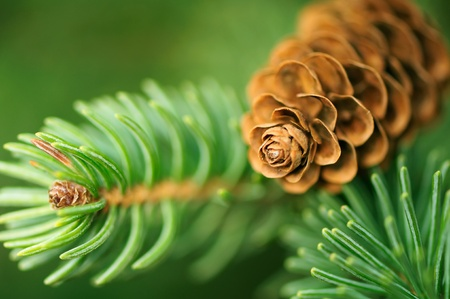 pine needles: Pine Cone And Branches