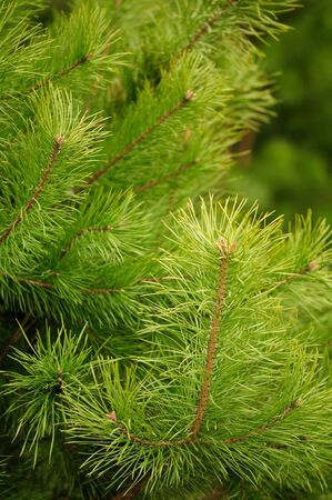 Young Green Pine Branches photo