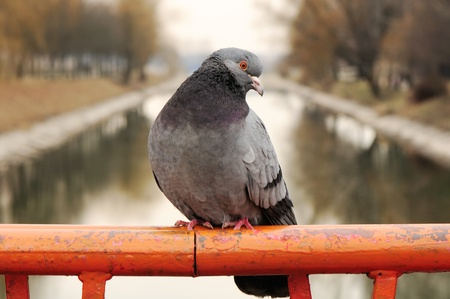 Pigeon Sitting on Rail Close-up Stock Photo - 9374568