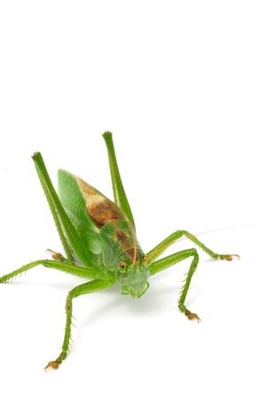 Grasshopper Close-up Isolated on White Background Stock Photo - 9504806
