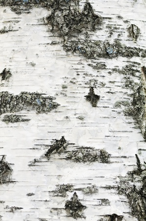 bark: Birch Bark Texture Stock Photo
