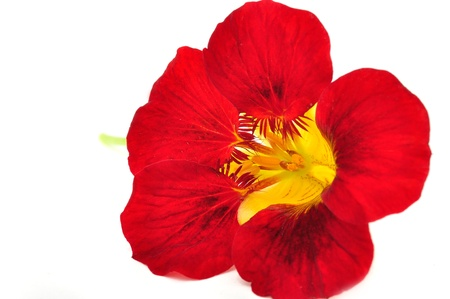 Nasturtium Flower Isolated on White Background