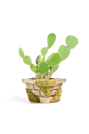 Bunny Ears Cactus (Opuntia Microdasys) in Pot Isolated on White Background Stock Photo - 9655747