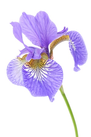 irises: Beautiful Purple Iris on White Background