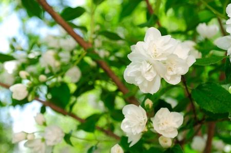 whiteness: Beautiful White Jasmine Flowers on Shrub Stock Photo