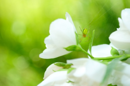 small flowers: Green Spider on Jasmine Flower Stock Photo