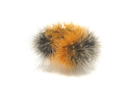 Hairy Caterpillar Rolled into Ball Isolated on White Background Stock Photo - 9781784