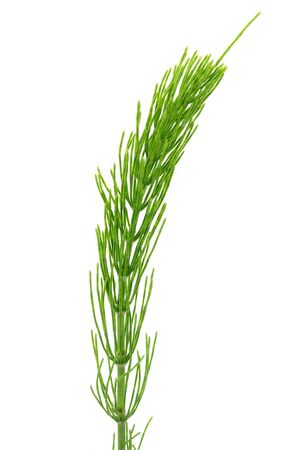 Field Horsetail on White Background photo