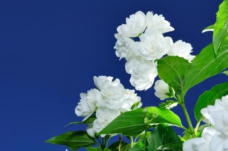 jasmine bush: Beautiful White Jasmine Flowers Against Blue Sky Background Stock Photo