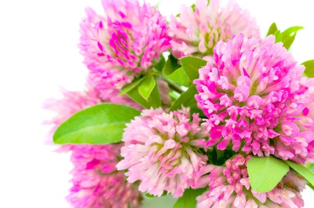 Red Clover on White Background photo