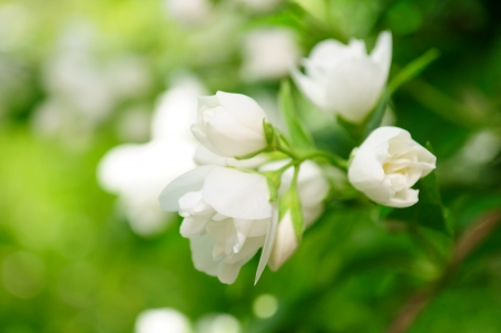 Beautiful White Jasmine Flowers on Shrub Stock Photo - 9870883