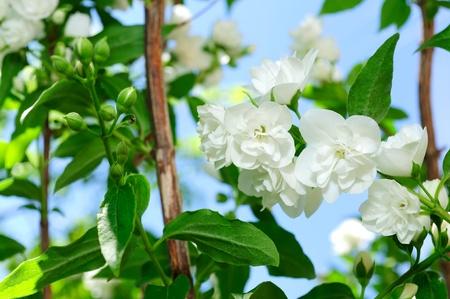 jessamine: Bellissimi fiori di gelsomini bianchi su arbusto