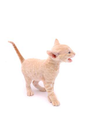 mewing: Mewing Cornish Rex Kitten