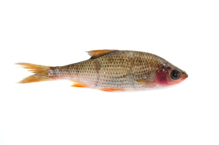 rutilus: Sick Roach Fish (Rutilus Rutilus) Isolated on White Background Stock Photo