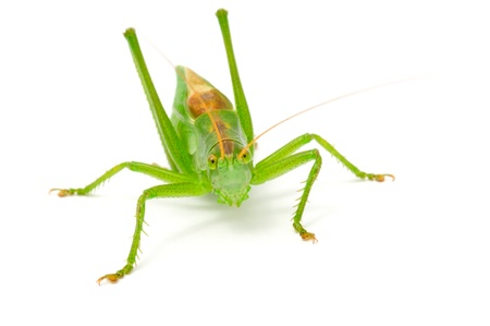 Green Grasshopper Isolated on White Background Stock Photo - 9870847