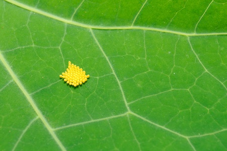 lying in leaves: Insect Eggs on Green Leaf Close-up