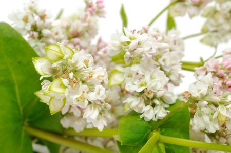 Buckwheat Flowers Stock Photo - 9937180
