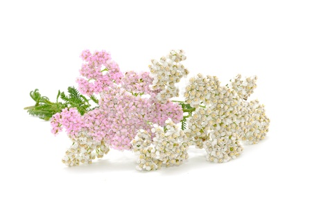 Yarrow (Achillea) Flowers Isolated on White Background Stock Photo - 9937181