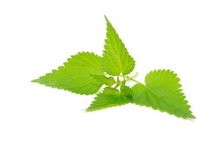 urtica: Stinging Nettle (Urtica Dioica) Isolated on White Background