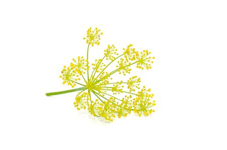 Dill Umbel Isolated on White Background