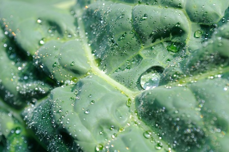 Dew Drops on Savoy Cabbage Close-up Stock Photo - 9999058