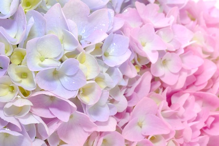 Beautiful Purple and Pink Hydrangea Flowers Close-up photo