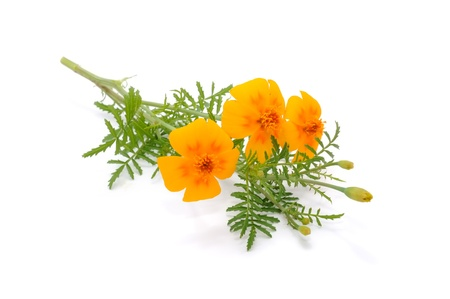 tagetes: Marigold (Tagetes) Flowers Isolated on White Background
