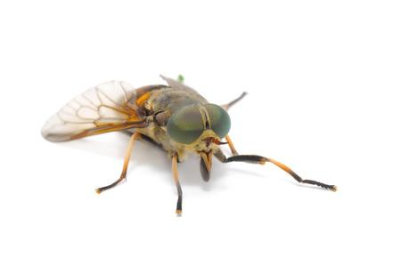 gadfly: Botfly Close-up Isolated on White Background